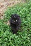 Черный кот против зеленой предпосылки Tashirojima Японии Стоковая Фотография