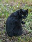 Черный кот сидя и смотря камера стоковое изображение rf