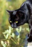 Черный кот стоя на пруде сада, животный портрет Стоковое фото RF