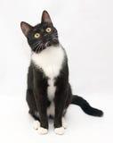 Черный кот с белым фронтом рубашки и желтыми глазами сидит заботливое стоковая фотография