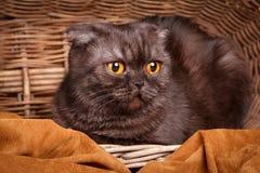 Черный кот с желтым цветом наблюдает сидеть в baske стоковая фотография rf