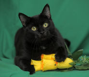 Черный кот с желтыми розами Стоковая Фотография