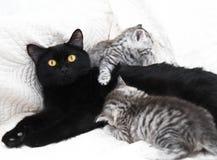 черный кот с котятами Стоковая Фотография