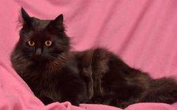 Черный кот с оранжевыми глазами Стоковое фото RF