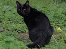 черный кот Стоковое Изображение