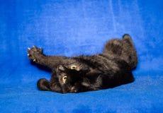 Черный кот shorthair играет на голубой предпосылке стоковое изображение