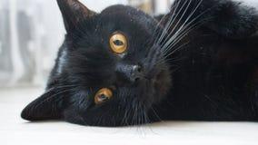 Черный кот straigth породы шотландского с глазами янтарного цвета стоковая фотография