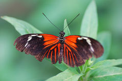 черный красный цвет бабочки Стоковая Фотография RF