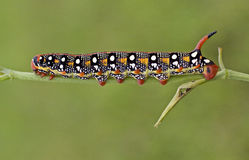 черный красный цвет гусеницы Стоковое Изображение