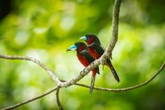 черный красный цвет broadbill Стоковые Изображения RF