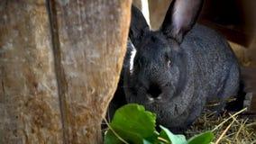 Черный кролик ест сено в клетке видеоматериал