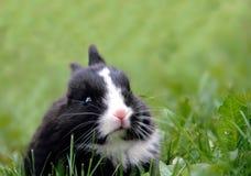 черный кролик травы Стоковая Фотография RF