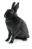 черный кролик Стоковая Фотография