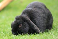 черный кролик Стоковые Изображения