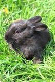 черный кролик травы Стоковое Фото
