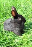 черный кролик травы Стоковые Изображения RF