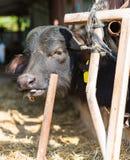 Черный крупный план коровы на ферме Стоковые Фотографии RF