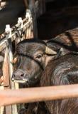 Черный крупный план коровы на ферме Стоковые Фото