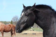 Черный латышский портрет лошади проекта Стоковая Фотография RF