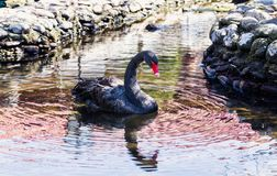 Черный лебедь в пруде стоковое изображение rf