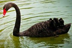 Черный лебедь ест стоковое фото