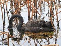 Черный лебедь к западному озеру в Ханчжоу, стоковое изображение