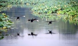 черный лебедь летания Стоковые Изображения RF