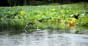черный лебедь летания Стоковые Фото