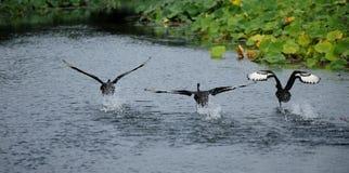 черный лебедь летания Стоковые Фотографии RF