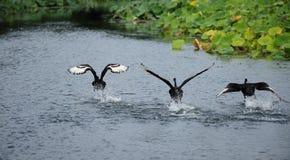 черный лебедь летания Стоковое Изображение