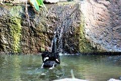Черный лебедь на зоопарке Феникса в Фениксе, Аризоне в Соединенных Штатах стоковые фотографии rf