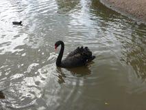 Черный лебедь на спокойной воде стоковое изображение rf