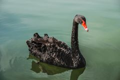 Черный лебедь плавая на воду на прудах Один красивый черный лебедь Стоковая Фотография RF