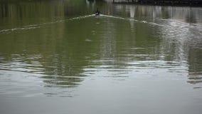 Черный лебедь плавая прочь видеоматериал