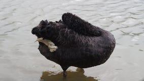 Черный лебедь сток-видео