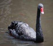 Черный лебедь Стоковые Фото