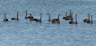 черный лебедь Стоковая Фотография RF