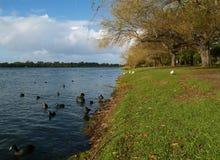 черный лебедь perth озера Стоковое Изображение RF