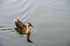 Черный лебедь Стоковое Изображение RF