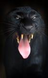 Черный леопард Стоковые Фото