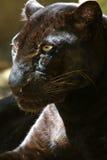 черный леопард стоковые фотографии rf
