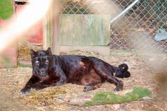 черный леопард Стоковые Изображения