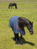 черный лужок лошадей frisian Стоковые Фотографии RF