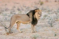 черный львев maned стоковые фото