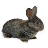 Черный маленький кролик Стоковое фото RF