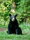 Черный медведь в голубом Ридже Стоковое фото RF