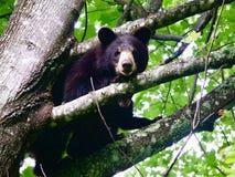 Черный медведь в голубом Ридже Стоковая Фотография