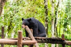Черный медведь около водопадов Kuang Si водопадов, Luang Prabang, Лаос Скопируйте космос для текста стоковые фото