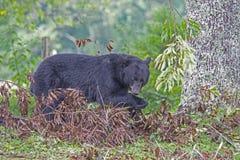 Черный медведь проверяет упаденный лимб, охотясь для вишен стоковые изображения rf