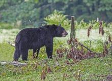 Черный медведь проверяет упаденный лимб, охотясь для вишен стоковая фотография rf